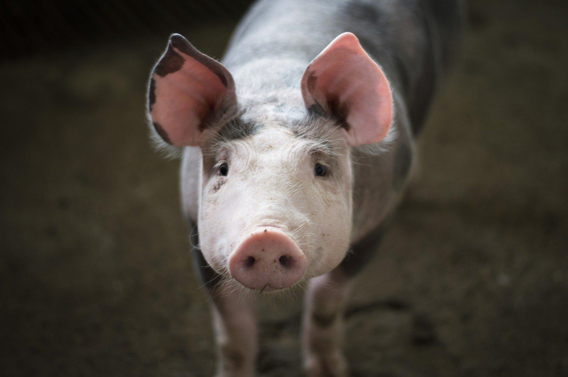 Petit cochon - Porcin - Porc - Mignion - vente à la ferme cochon - Ferme mayenne - Chailland