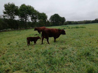 Vache avec petit veau dans champs en mayenne
