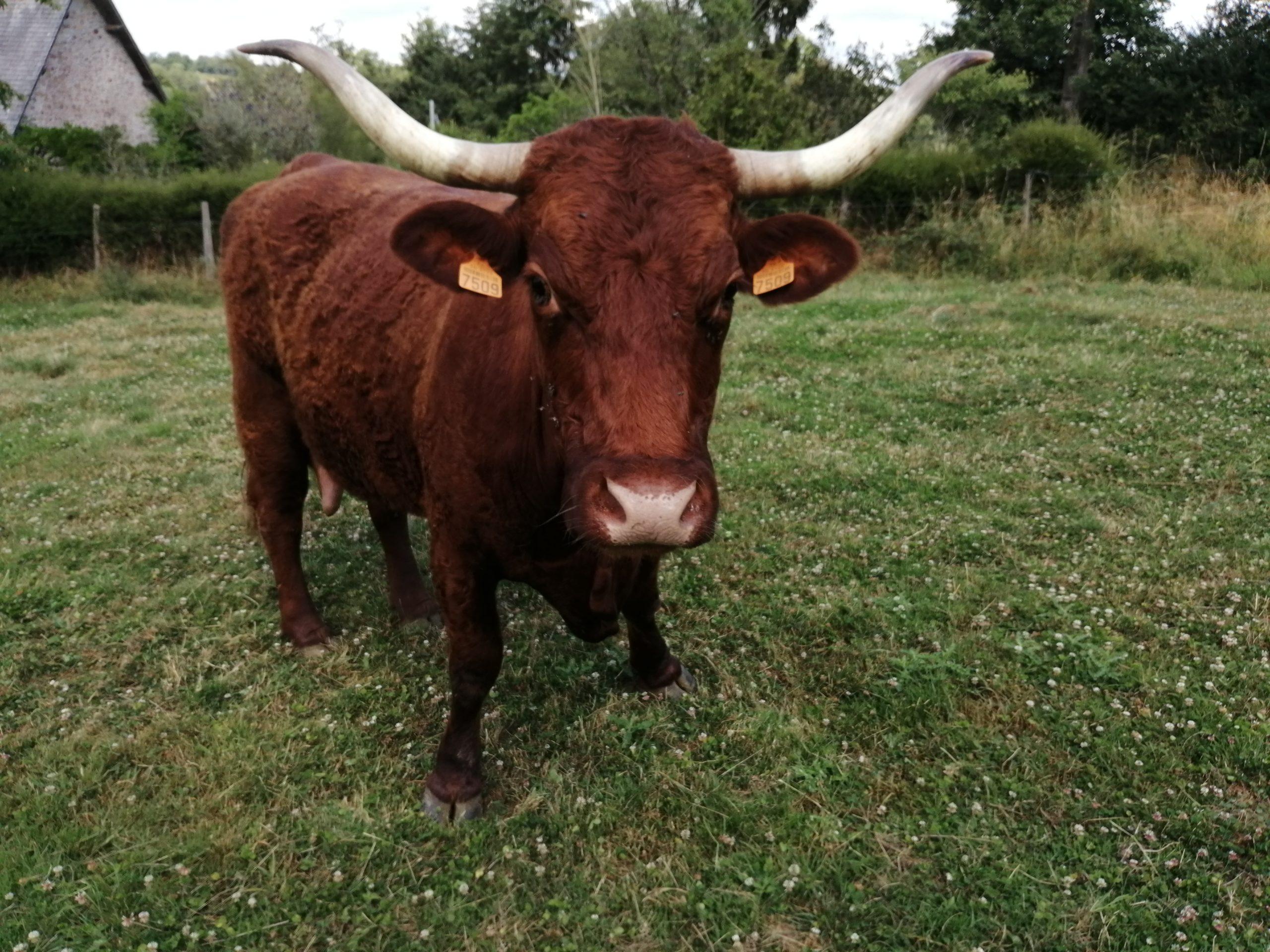 Vache salers vue de face - corne - Chailland - 53 - Tracabilité - muscle