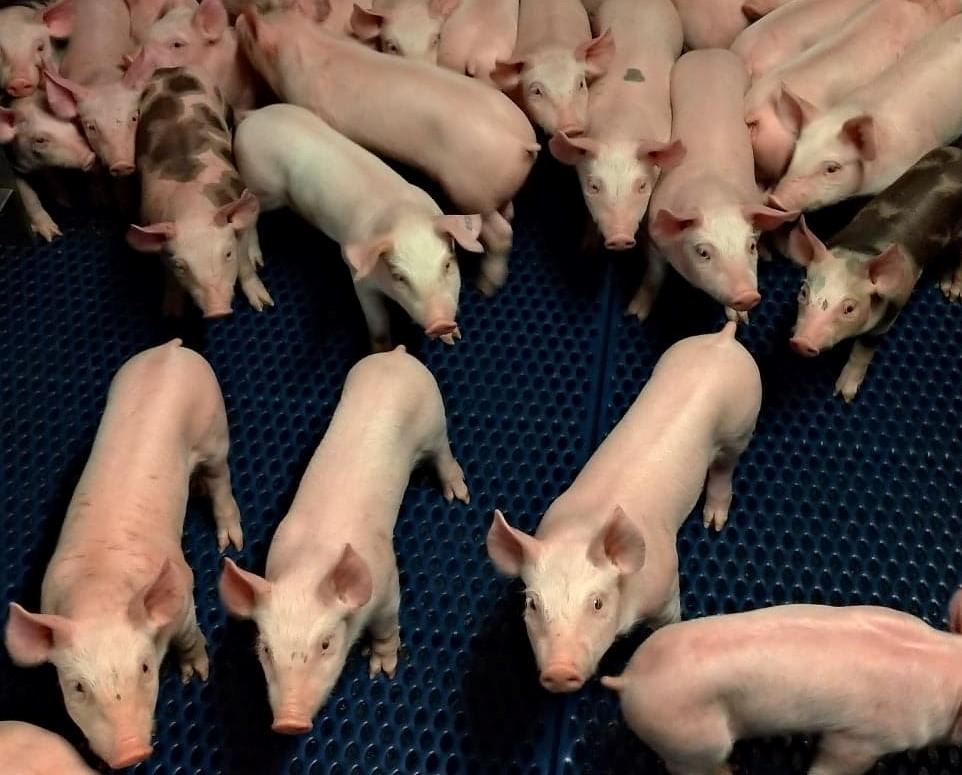 Petit cochon vente à la ferme - porcelet - viande de porc